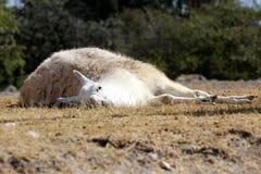 Llama ή glama λάμα στοκ εικόνα με δικαίωμα ελεύθερης χρήσης