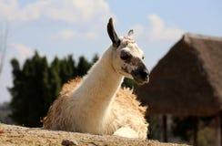 Llama ή glama λάμα στοκ εικόνες
