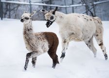 Llama αδελφές που παίζουν στο χιόνι Στοκ εικόνες με δικαίωμα ελεύθερης χρήσης