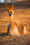 llama αλπάκα Στοκ εικόνα με δικαίωμα ελεύθερης χρήσης