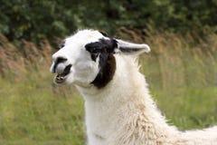 llama δυστυχισμένο Στοκ εικόνες με δικαίωμα ελεύθερης χρήσης