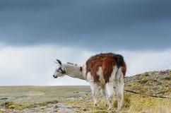 Llama είναι ένας εξημερωμένος νότος - αμερικανικό camelid, που χρησιμοποιείται ευρέως ως ζώο κρέατος και πακέτων από τους των Άνδ στοκ φωτογραφία