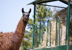 Llama κατανάλωση στοκ φωτογραφίες