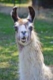 Llama κινηματογράφηση σε πρώτο πλάνο με την αστεία έκφραση στο πρόσωπο Στοκ Εικόνα