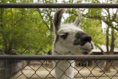 Llama κοιτάζει έξω από πίσω από το φράκτη zoo στοκ εικόνες