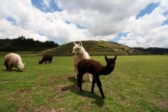Llama κοπάδι στην καταστροφή Saqsaywaman, Περού Στοκ Φωτογραφίες