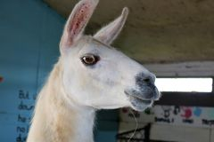 Llama - λάμα Glama με τα αυτιά που τσιμπούνται - πλάγια όψη στοκ εικόνες