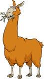 Llama μάσημα Στοκ Εικόνες