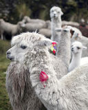 llama Περού Στοκ φωτογραφία με δικαίωμα ελεύθερης χρήσης