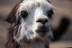 Llama πορτρέτο προβατοκαμήλου Στοκ φωτογραφία με δικαίωμα ελεύθερης χρήσης