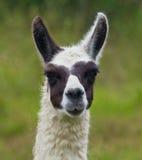 Llama πορτρέτο Στοκ Εικόνες