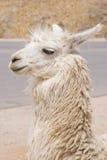 Llama πορτρέτο Στοκ εικόνες με δικαίωμα ελεύθερης χρήσης