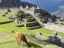Llama που τρώει τη χλόη στο picchu machu στοκ εικόνες με δικαίωμα ελεύθερης χρήσης