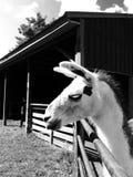 Llama δράμα Στοκ Εικόνες