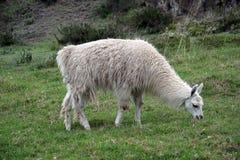 Llama σε Cochasqui στοκ φωτογραφίες με δικαίωμα ελεύθερης χρήσης
