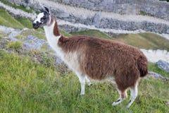 Llama σε Machu Picchu, βουνά των Άνδεων, Περού Στοκ εικόνα με δικαίωμα ελεύθερης χρήσης