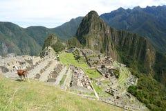 Llama σε Machu Picchu Περού Στοκ Φωτογραφία