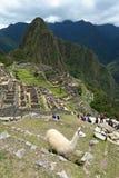 Llama σε Machu Picchu Περού Στοκ Εικόνα