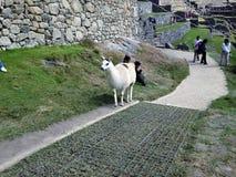Llama σε Machu Picchu Στοκ φωτογραφία με δικαίωμα ελεύθερης χρήσης