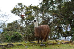 Llama στις καταστροφές Kuelap, η χαμένη πόλη Chachapoyas, Περού Στοκ Εικόνες