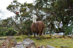 Llama στις καταστροφές Kuelap, η χαμένη πόλη Chachapoyas, Περού Στοκ εικόνες με δικαίωμα ελεύθερης χρήσης