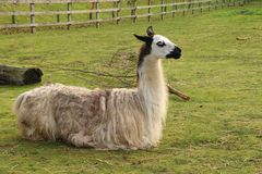 Llama στο ζωολογικό κήπο Banham στοκ εικόνα με δικαίωμα ελεύθερης χρήσης