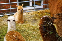 Llama στο ζωολογικό κήπο Στοκ φωτογραφίες με δικαίωμα ελεύθερης χρήσης