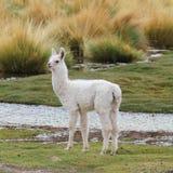 Llama στο λιβάδι Στοκ Εικόνα