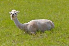llama побрил срезано Стоковое фото RF
