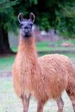 llama поля Стоковое Фото