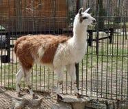 llama тела Стоковое Изображение
