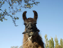 Llama 1 Stock Photography