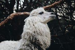 llama Στοκ Φωτογραφία
