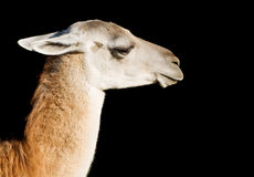 Llama. Head and neck of a llama over black background Royalty Free Stock Photos
