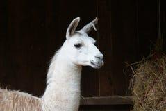 Llama. White Llama portrait image stable Stock Image