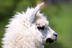 Llama. A photo of a young white Llama Stock Photography