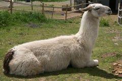 llama Стоковые Фото