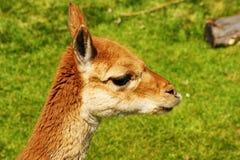 llama стоковые изображения