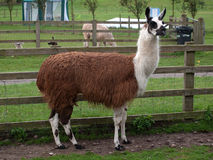 Llama. In a grass field stock images