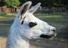 Llama Royalty Free Stock Photography