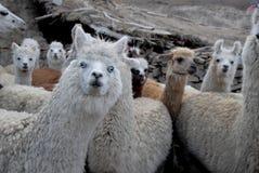 Llama Royalty Free Stock Images