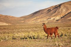 Llama. South American Llama out at grass stock images