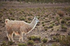 Llama Arkivbilder