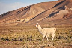 Llama. South American Llama out at grass royalty free stock images