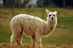Llama. White llama standing in field or pasture Royalty Free Stock Images