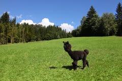 Llama. Black llama standing on a meadow Royalty Free Stock Photography