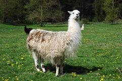 Llama. Standing on green grassy pasture, other s in background stock images
