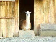 llama Стоковое фото RF