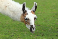 Llama Arkivfoto