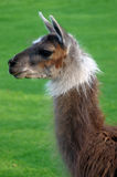 Llama Arkivfoton